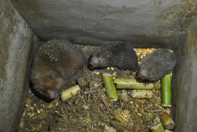 Nuôi loài chuột ăn bí đỏ, mía cây, thịt nung núc, bán 400 ngàn/kg - 3