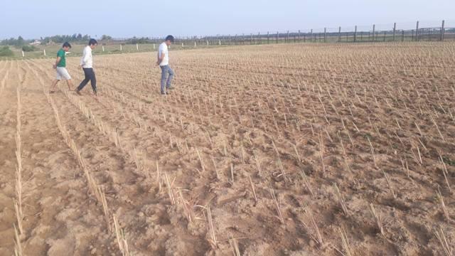 Tiến sĩ về quê làm giàu bằng nghề tay trái - trồng rau trên cát - 6