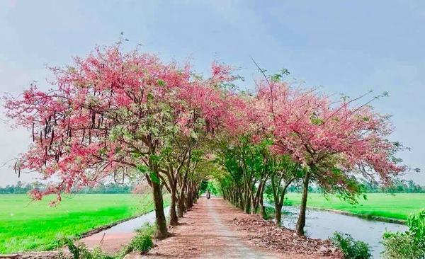 Về miền Tây ngắm hoa ô môi hồng rực rỡ, một lần đến là ngất ngây quên lối về - 1