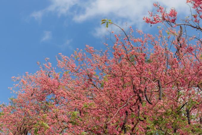Về miền Tây ngắm hoa ô môi hồng rực rỡ, một lần đến là ngất ngây quên lối về - 6