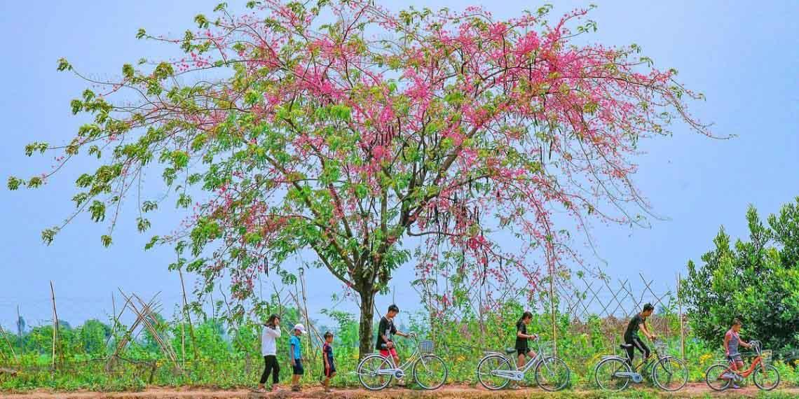 Về miền Tây ngắm hoa ô môi hồng rực rỡ, một lần đến là ngất ngây quên lối về - 7