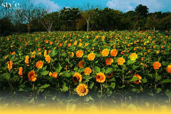Check-in vườn hoa hướng dương nở rộ rực rỡ ở Đồng Nai - 1