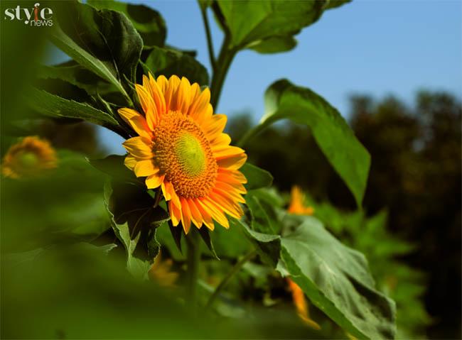 Check-in vườn hoa hướng dương nở rộ rực rỡ ở Đồng Nai - 3