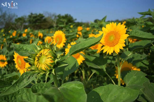 Check-in vườn hoa hướng dương nở rộ rực rỡ ở Đồng Nai - 4