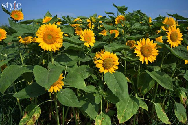 Check-in vườn hoa hướng dương nở rộ rực rỡ ở Đồng Nai - 5