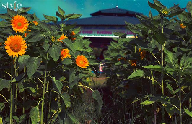 Check-in vườn hoa hướng dương nở rộ rực rỡ ở Đồng Nai - 6