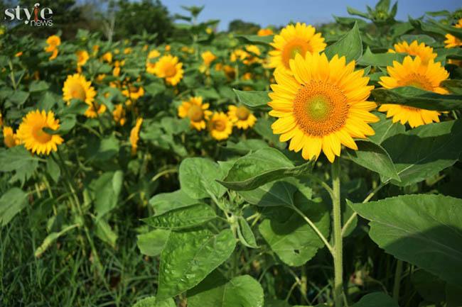 Check-in vườn hoa hướng dương nở rộ rực rỡ ở Đồng Nai - 7
