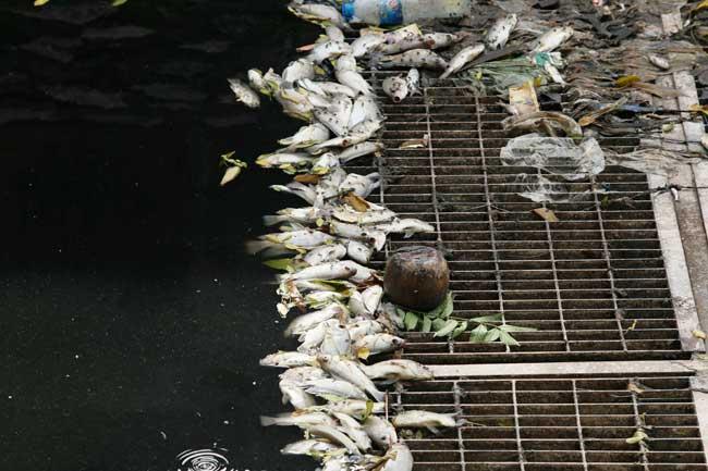 Sông Tô Lịch lại đen kịt, dày đặc cá chết sau xả 1 triệu m3 nước - 6