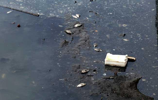 Sông Tô Lịch lại đen kịt, dày đặc cá chết sau xả 1 triệu m3 nước - 7