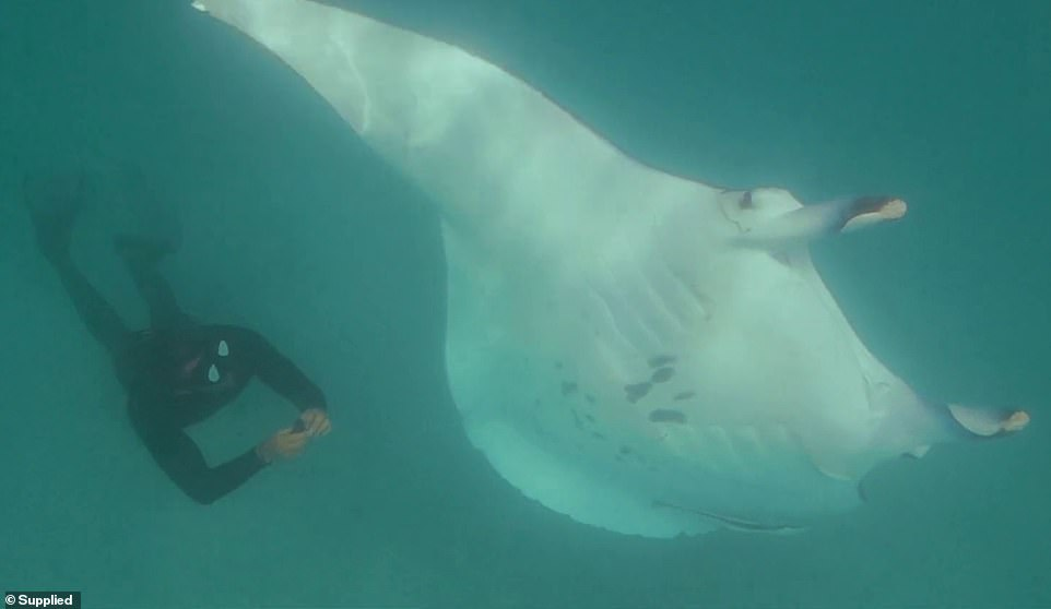 Image result for Incredible footage shows moment a wounded manta ray begs divers for help