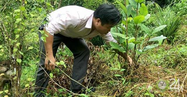 """Bắc Kạn: Mang cây quý như """"báu vật"""" từ rừng về đồi, sớm đổi đời"""