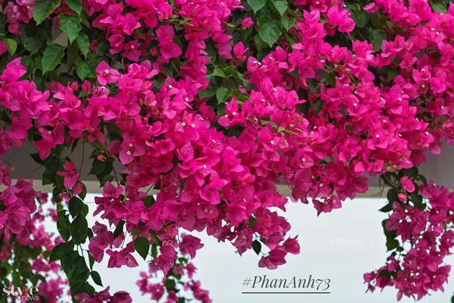 Xao xuyến mùa hoa giấy nở thắm ven sông Hàn Đà Nẵng - 2