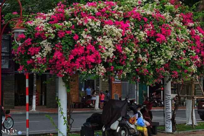 Xao xuyến mùa hoa giấy nở thắm ven sông Hàn Đà Nẵng - 3
