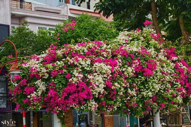 Xao xuyến mùa hoa giấy nở thắm ven sông Hàn Đà Nẵng - 7