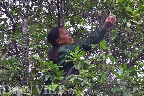 Giá hồi cao chót vót, sáng lên rừng hái chiều về đã có tiền triệu - 4