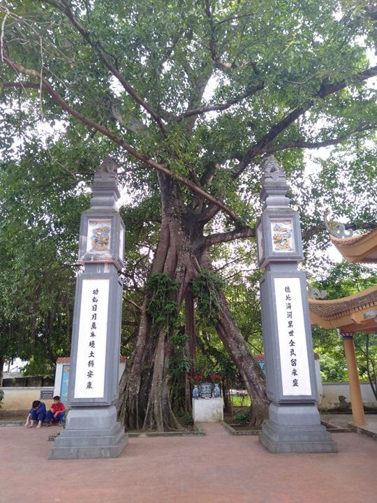 """Chuyện lạ về cây đa cổ thụ có 3 gốc """"độc"""" cạnh đền thờ vua - 2"""
