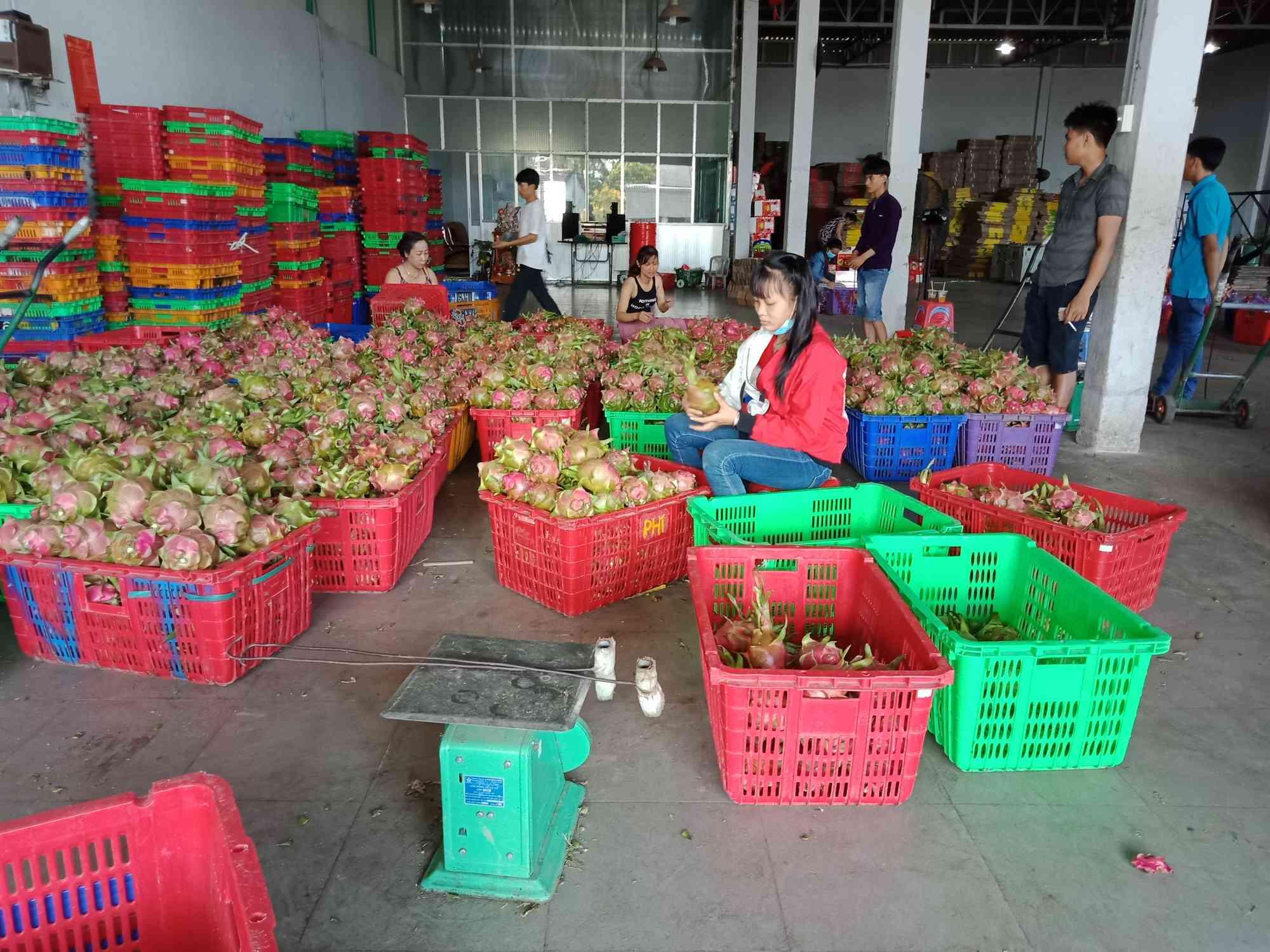 Thanh long, dưa hấu rớt giá còn 6.000 đồng/kg vì thị trường Trung Quốc bấp bênh - 2