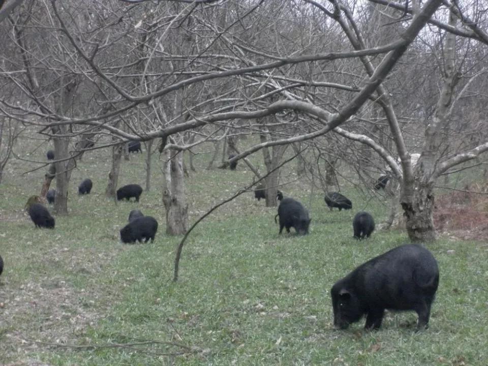 Giống lợn thơm có giá 6,5 triệu/kg, được người sành ăn ví như nhân sâm động vật