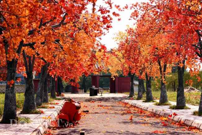 Kết quả hình ảnh cho con đường  lá đỏ như Hàn Quốc tại Hà Nội