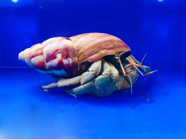 Loài ốc lạ chỉ để làm cảnh, giá lên tới 2-3 triệu đồng người Việt vẫn đổ tiền mua - 3