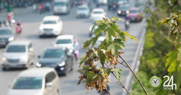 Hàng phong lá đỏ chưa kịp đỏ đã héo khô giữa trời thu Hà Nội - Tin tức 24h