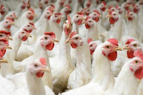 Gà bán rẻ như rau, thịt gà nhập kh��u vẫn ùn ùn đổ về - 1