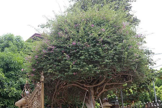 """Cận cảnh cây hoa giấy """"Vạn hoa lầu"""" gần 3 tỷ đồng độc nhất vô nhị của đại gia Phú Thọ - 3"""