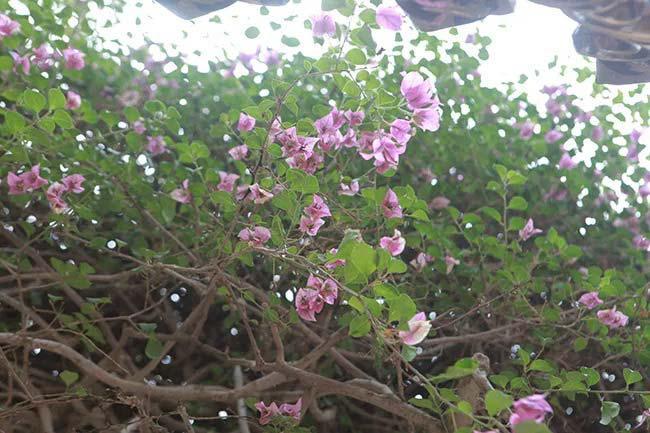 """Cận cảnh cây hoa giấy """"Vạn hoa lầu"""" gần 3 tỷ đồng độc nhất vô nhị của đại gia Phú Thọ - 5"""