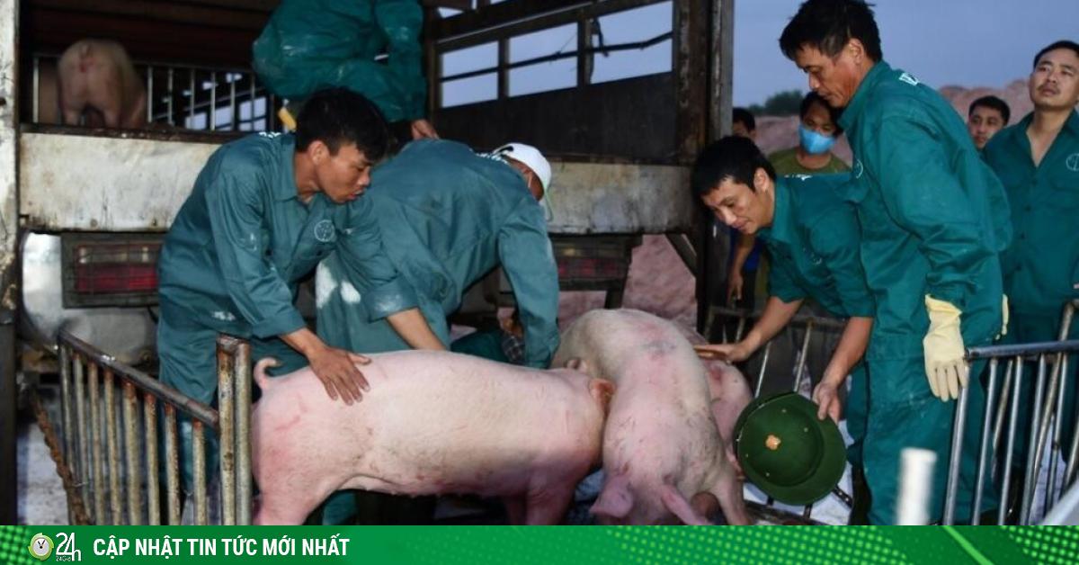 Nhập khẩu lợn sống phức tạp, nhiều doanh nghiệp Việt bỏ cuộc