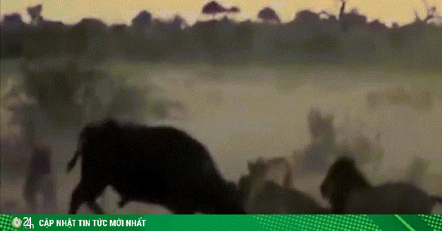 Video: Bị bầy sư tử bao vây, cắn xé, trâu rừng gan lì vẫn kiên cường chiến đấu