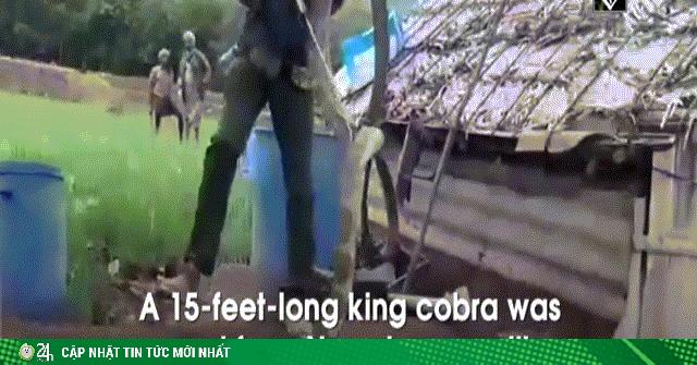Video: Giải cứu hổ mang chúa khủng dài hơn 4,5 mét