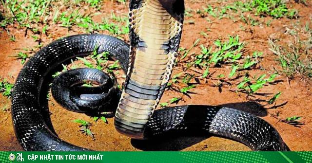 3 người một nhà bị rắn hổ mang lấy mạng trong 3 ngày