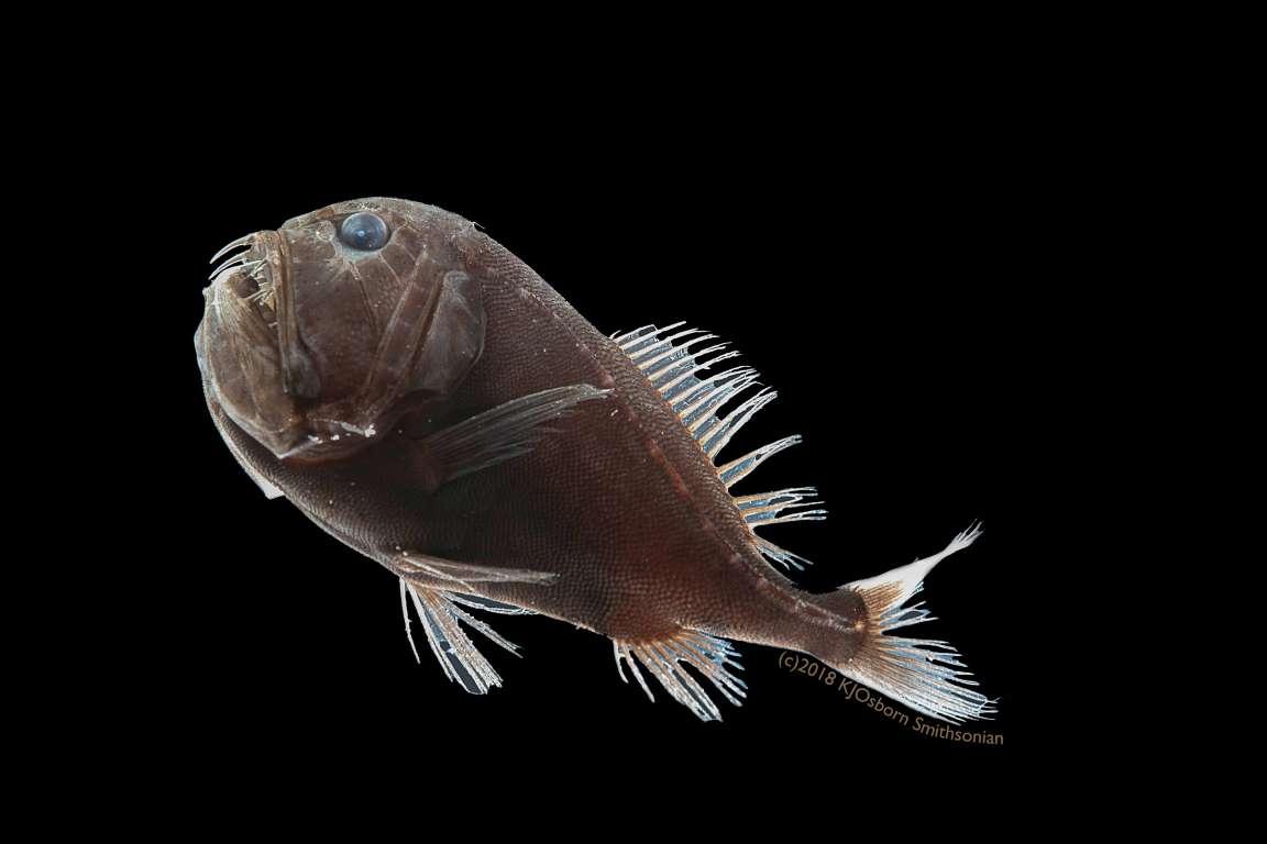 """Bí ẩn về những loài cá """"đen chưa từng thấy"""" dưới tầng sâu nhất của đại dương - 2"""