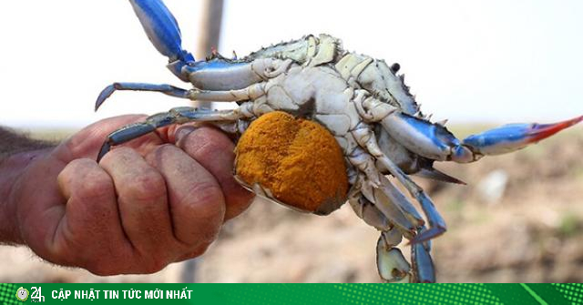 Sinh vật ngoại lai khiến ngư dân cuộc sống ngư dân quốc gia châu Âu đảo lộn