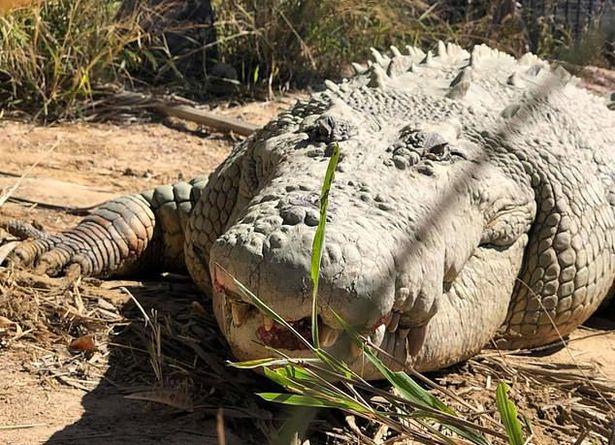 Cá sấu khổng lồ nổi tiếng nhất thế giới qua đời ở tuổi 100 - 1