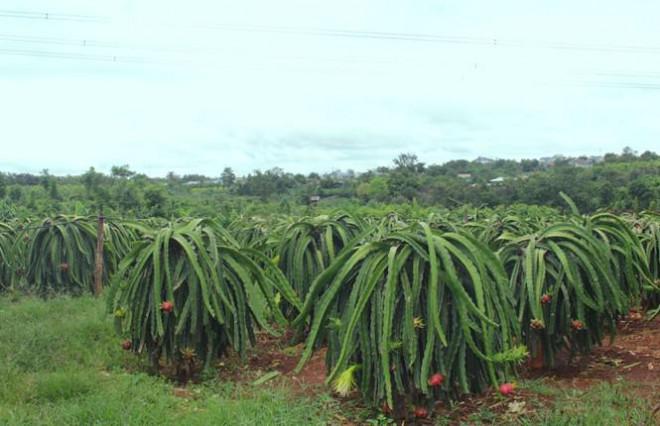 Nông dân Đắk Lắk điêu đứng vì thanh long rớt giá còn 2.000 đồng/kg - 4
