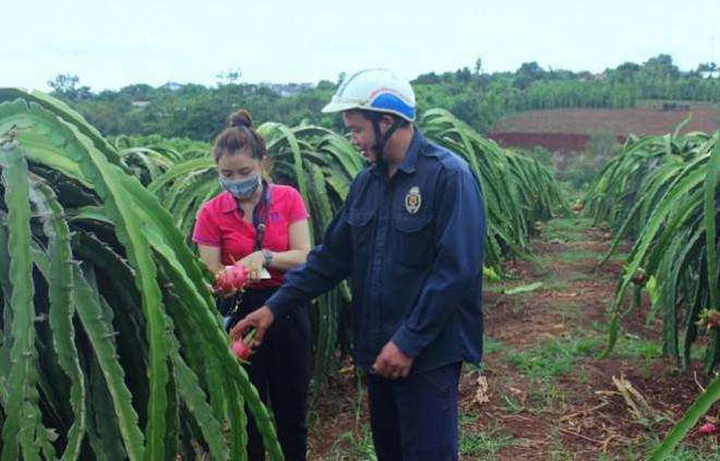 Nông dân Đắk Lắk điêu đứng vì thanh long rớt giá còn 2.000 đồng/kg - 3