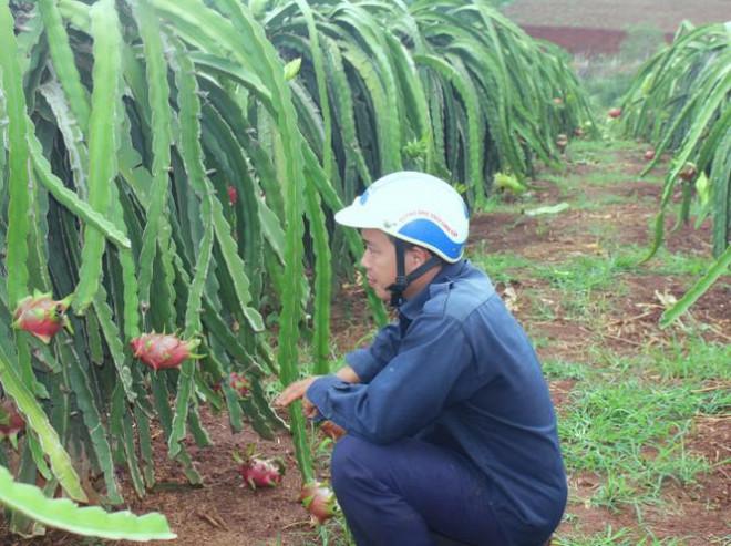 Nông dân Đắk Lắk điêu đứng vì thanh long rớt giá còn 2.000 đồng/kg - 1