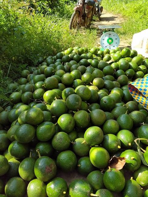 Bơ booth rớt giá thê thảm chỉ 5.000 đồng/kg, nông dân neo quả trên cây chờ giá lên