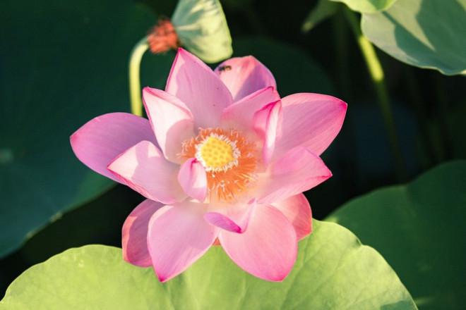 """Ngỡ ngàng hồ sen nở rộ giữa Thu ở Hang Múa (Ninh Bình), giới trẻ tha hồ chụp ảnh """"sống ảo"""" - 4"""