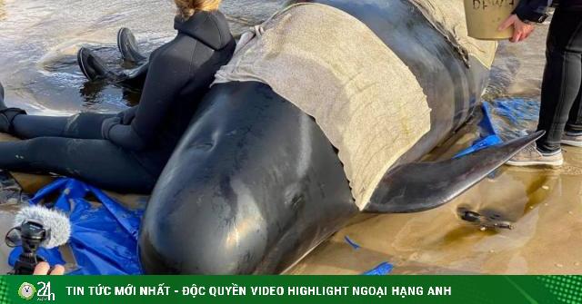 Úc: Đang giải cứu 270 con cá voi hoa tiêu mắc cạn,...