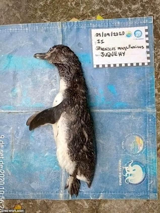 Chim cánh cụt chết trôi dạt bờ biển Brazil, mổ bụng thấy điều đau lòng - 1