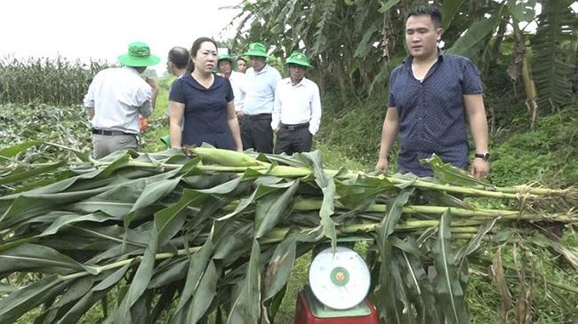 """Chuyện lạ: Nông dân trồng ngô không lấy hạt, thương lái lùng tận ruộng """"hốt"""" cả cây - 2"""
