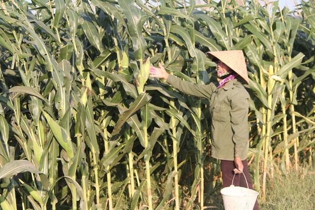 """Chuyện lạ: Nông dân trồng ngô không lấy hạt, thương lái lùng tận ruộng """"hốt"""" cả cây - 3"""