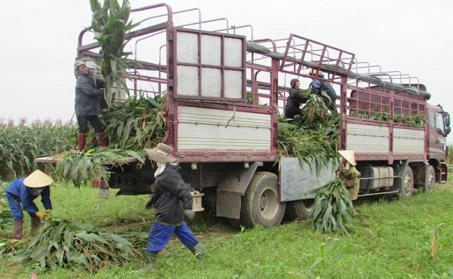 """Chuyện lạ: Nông dân trồng ngô không lấy hạt, thương lái lùng tận ruộng """"hốt"""" cả cây - 4"""