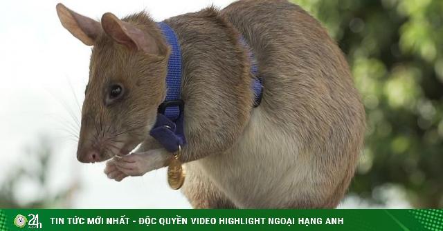 Chuột siêu phá bom được nhận huy chương vàng