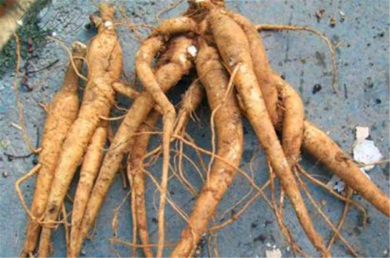 Loại rau mọc hoang ngoài bờ ruộng, có tác dụng dưỡng khí huyết, tốt như nhân sâm - 5