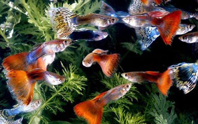 Sốc: Cá bảy màu bé tý mà nhiều người thích nuôi thực chất lại là loài cá nguy hiểm hơn cả hổ và cá mập - 2