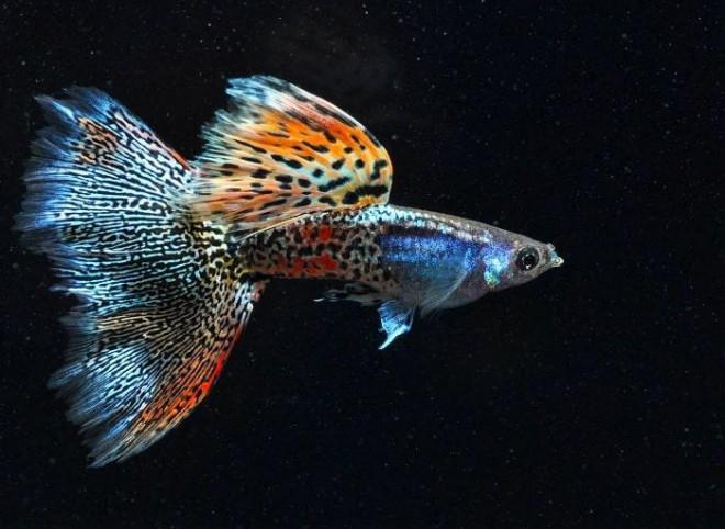 Sốc: Cá bảy màu bé tý mà nhiều người thích nuôi thực chất lại là loài cá nguy hiểm hơn cả hổ và cá mập - 9
