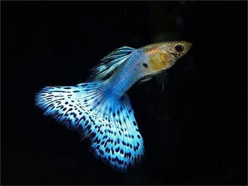 Sốc: Cá bảy màu bé tý mà nhiều người thích nuôi thực chất lại là loài cá nguy hiểm hơn cả hổ và cá mập - 5